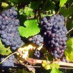 vignes_ecueil-raisin